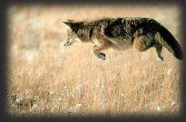 Leaping coyote in mid-air